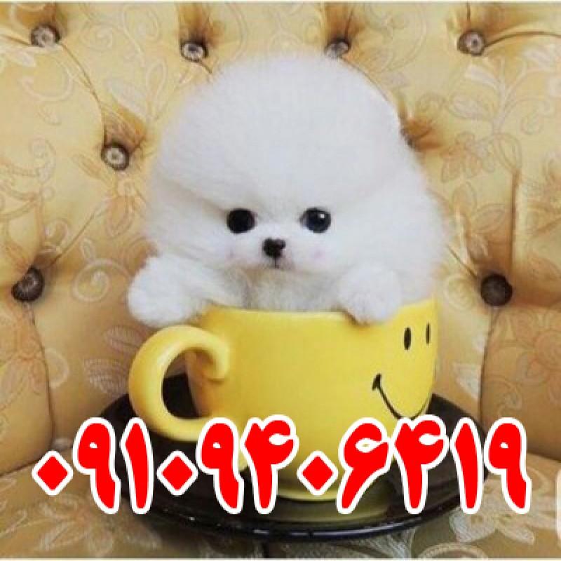 فروش توله سگ جیبی سفید پشمالو و پاکوتاه سایز ریز